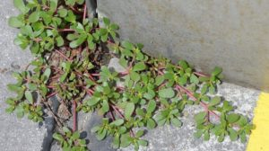 "Don't Pick This ""Weed"" If It's Growing In Your Yard – Here's Why…"